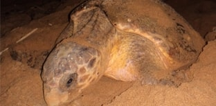 Tartaruga-cabeçuda bate recorde de fidelidade reprodutiva
