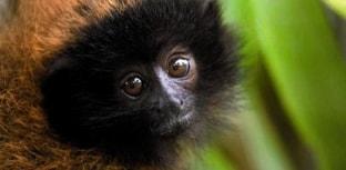 Espécies brasileiras em extinção: Macaco guigó
