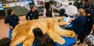 Urso polar vai ao dentista nos EUA