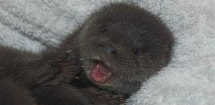 Filhote de lontra órfã é resgatada na Escócia