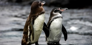 Pinguim-das-galápagos ameaçado