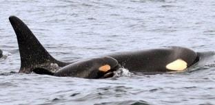 Filhote de orca é avistado no litoral dos EUA