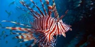 Peixe-leão ameaça equilíbrio ambiental na costa brasileira