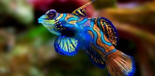 Peixes estranhos - Mandarin Fish