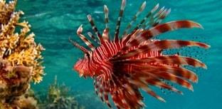 Peixe- leão encontrado no Brasil tem ligação com exemplares do Caribe