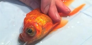 Peixinho dourado é operado pela 3ª vez para remover tumor