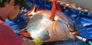 Descoberto único peixe de sangue quente do mundo