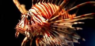 Mais de 2 mil peixes-leão são caçados na Flórida
