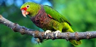 Papagaio de peito roxo está ameaçado