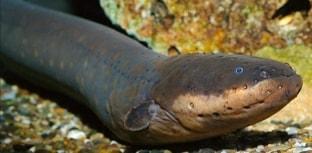 Peixes estranhos - Enguia-elétrica