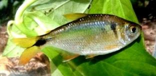 Restrição à pesca de espécies nativas no Paraná começou este mês