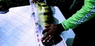 Maior peixe capturado no Campeonato mediu 63,5 centímetros