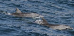 Pesquisa de golfinhos e baleias no RJ precisa de doações