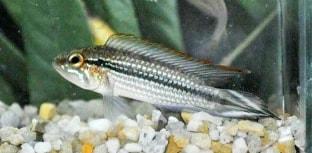 Pesquisa prevê tamanho mínimo para captura de espécie ornamental da Amazônia