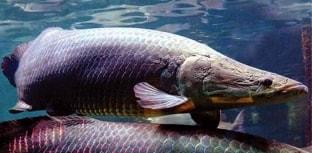 Nova técnica de pesquisa traça rota de espécies migradores da Amazônia