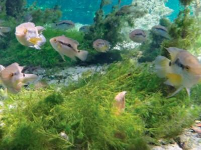 Aquários: já pensou ter um peixe do Pantanal?