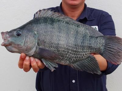 Simpósio Internacional de Nutrição e Saúde de Peixes ocorre em São Paulo