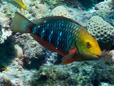Você já viu um peixe budião?