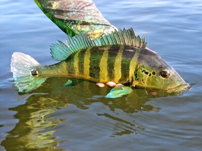 Tire suas dúvidas sobre a portaria que regulamenta pesca esportiva em unidades de conservação