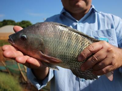 Prato feito com pescado de cultivo